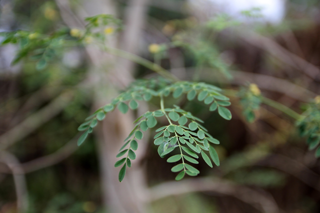 moringa leaf tree